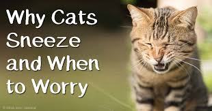 cat runny nose when your cat sneezes should you worry about it