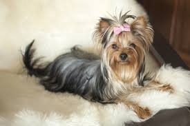 page guide to which dog breeds are non shedding dogs