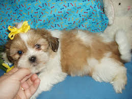 Do Jackie Bichon Shed by Shih Poo Shih Tzu Poodle Mix Facts Temperament Training Diet