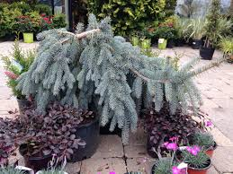 Slenderina Blue Spruce Weeping Alaskan Cedar
