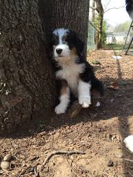 30 Dog Breeds That Shed The Most by Best 25 Non Shedding Dog Breeds Ideas On Pinterest Non Shedding