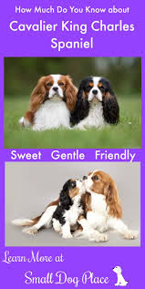 Small Non Shedding Dogs For Seniors by Cavalier King Charles Spaniel