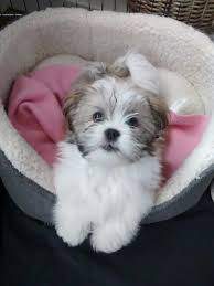 My Lhasa Apso Is Shedding Hair by Best 25 Lhasa Apso Ideas On Pinterest Lhasa Apso Puppies Shih