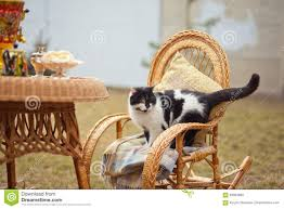 Cat On Rocking Chair Stock Photo. Image Of Kitty, Pink ...