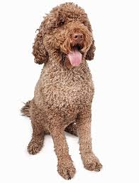 Portuguese Water Dog Non Shedding by 35 Dog Breeds That Don U0027t Shed Small Medium U0026 Large Breeds
