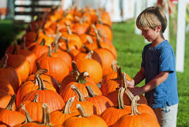 Gainesville Pumpkin Patch by Pumpkins Plentiful Thanks To Kind Weather Tbo Com