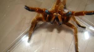 Pumpkin Patch Tarantula Bite by October 2014 Tarantula Of The Month Pterinochilus Murinus