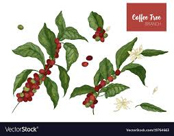 Bundle Of Botanical Drawings Coffea Or Coffee Vector Image
