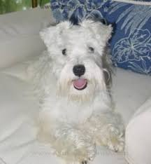 Do Giant Schnauzer Dogs Shed Hair by About White Miniature Schnauzers