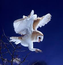 Barn Owl At Melrose Photo - WP09084 Barn Owl Landing Spread Wings On Stock Photo 240014470 Shutterstock Barn Owl Landing On A Post Royalty Free Image Wikipedia A New Kind Of Pest Control The Green Guide Fence Photo Wp11543 Wp11541 Flight Sequence Getty Images Imageoftheday By Subject Photographs Owls Kaln European Eagle Coming Into Land Pinterest Pictures And Bird
