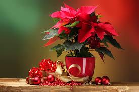die wichtigsten pflegetipps für ihren weihnachtsstern