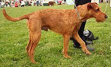 irish terrier wikipedia