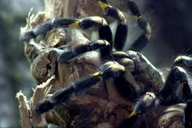 Tarantula Shedding Skin Time Lapse by Wanna See A Tarantula Crawl Out Of Its Own Skeleton
