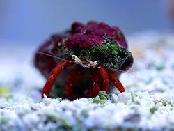 Do Hermit Crabs Shed Legs by 101 Best Hermit Crabs Species Images On Pinterest Hermit Crabs