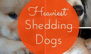 10 Dog Breeds That Shed The Most by Shed Free Dogs Most Popular 56 Images Always Hunting 6315667