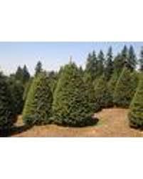 Douglas Fir Tree Christmas Seeds