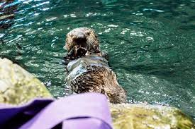 Jazzin At The Shedd Parking by Shedd Aquarium Welcomes Ellie The Otter