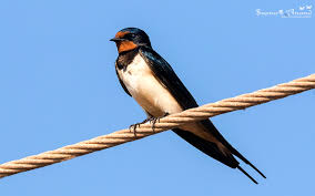 Barn Swallow,શિયાળુ તારોડીયુ Flying Barn Swallow Stock Photo Image Of Swift Martin 13408420 Perching Birds Lake Apopka Wildlife Audubon Guide To North American Ebirdr Watercolor Blue Bird On Stock Illustration 302720159 Warsciowestronytop Words On Another Blog First Chicks Swallows Including And Tree