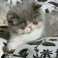 shorthair cat price promise an shorthair kitten at www mewznewz books