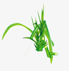 Sugarcane Green Leaves Picture Material Sugar Cane Fruit PNG Image And