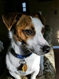 Rat Terrier Excessive Shedding by Jack Russell Daily