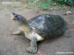 Turtle Shell Not Shedding 9 snapping turtle shell shedding bilder von s 252 223 en