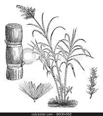 Sugar Cane Vintage Engraving Stock Vector Clipart Engraved Illustration