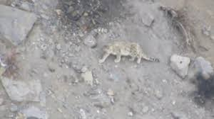 Snow Leopard Falling Down From Mountain Cliff Rare Video Must Watch