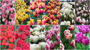 All Colors Of Tulipscolorsprintable Coloring Pages Free Download