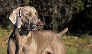 Do Long Haired Weimaraners Shed by Weimaraner Dog Breed Information