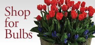fresh cut flowers flowering bulbs tulips