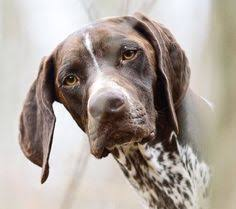 German Shorthaired Pointer Shed Hunter by Thermals At The Ready Big Freeze Could Last Till New Year And