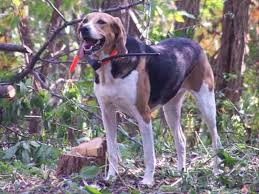 Do Treeing Walker Coonhounds Shed by Hunting Dogs Best Dog Breeds For Every Game Animal Outdoor Life