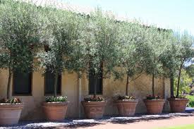 Plantable Christmas Trees For Sale by Bedroom Potted Olive Trees Pinterese280a6 Staggering Picture