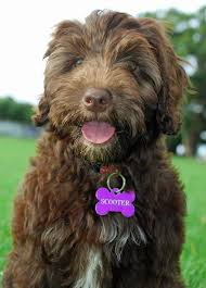 love this breed portuguese water dog so intelligent fun loving