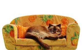 cat sofa free photo sofa cat shorthair free image on