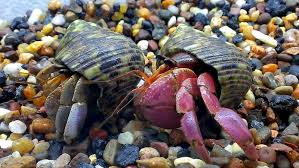 Do Hermit Crabs Shed Their Legs by Hermit Crab U2013