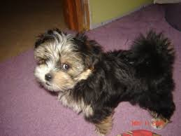 Best Mini Dogs That Dont Shed by Small Dog Breeds That Stay Small And Dont Shed