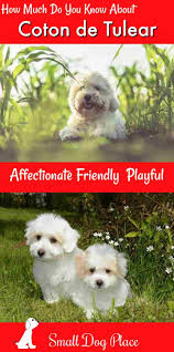 Non Shedding Small Dogs Uk by Coton De Tulear The Ultimate Fluffy Dog