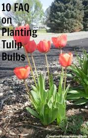 10 frequently asked questions on planting tulip bulbs growing