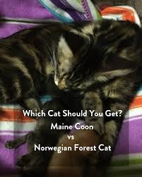 forest cat vs maine coon which cat should you get maine coon vs forest cat