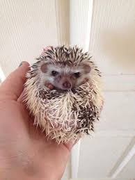Ceramic Heat Lamp For Hedgehog by 18 Best African Pygmy Hedgehogs Images On Pinterest Pygmy