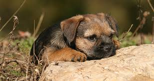 border terrier a complete guide the happy puppy site