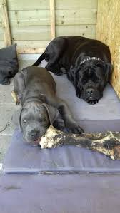 Cane Corso Italiano Shedding by 723 Best Cane Corso Images On Pinterest Cane Corso Canes And