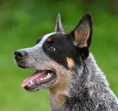do blue heeler border collies shed how to breed a blue heeler border collie mix