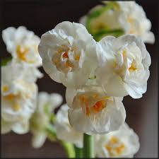 daffodil polyanthus bridal crown x 5 bulbs bulbs direct