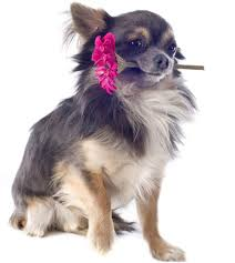 Do Long Haired Chiweenies Shed by Enchanting Facts About The Cute Little Chihuahuas