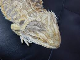 Bearded Dragon Shedding In Patches by Head Turned Black U2022 Bearded Dragon Org