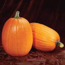 Natural Fertilizer For Pumpkins by Captain Jack Hybrid Pumpkin Seeds From Park Seed