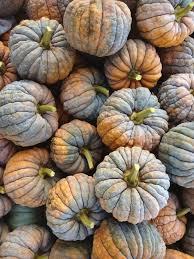 Pumpkin Patch Bellingham Wa by Squash U0027black Futsu U0027 Squash Vegetables
